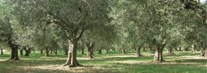 Olivenöl – ein Lebenselixier